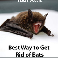 Getting Bats Out Of Your Attic