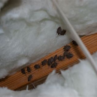 Stink Bugs In Attic